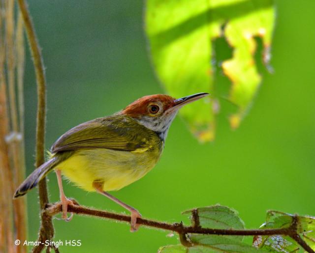 image 7688 of Dark-necked Tailorbird
