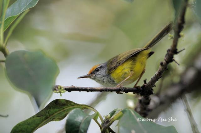 image 916 of Dark-necked Tailorbird