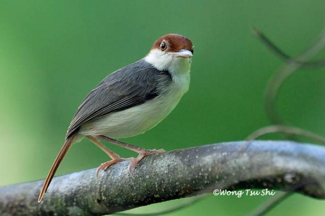 image 566 of Rufous-tailed Tailorbird