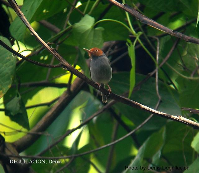 image 5750 of Red-headed Tailorbird