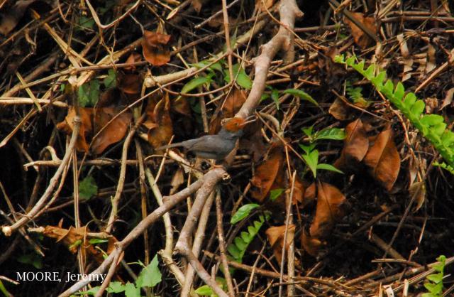 image 4697 of Red-headed Tailorbird