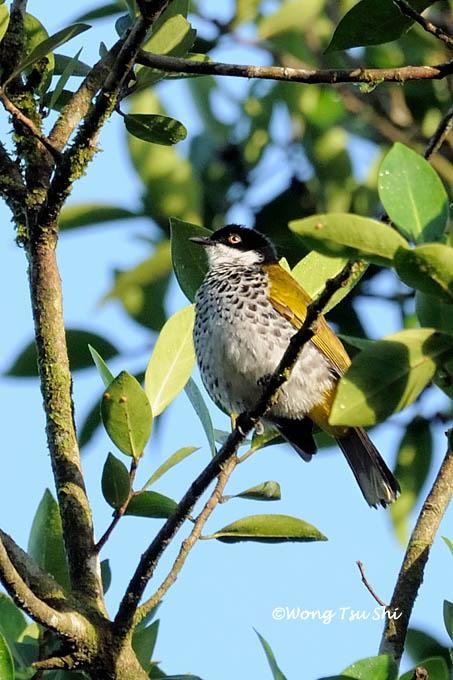 image 921 of Scaly-breasted Bulbul
