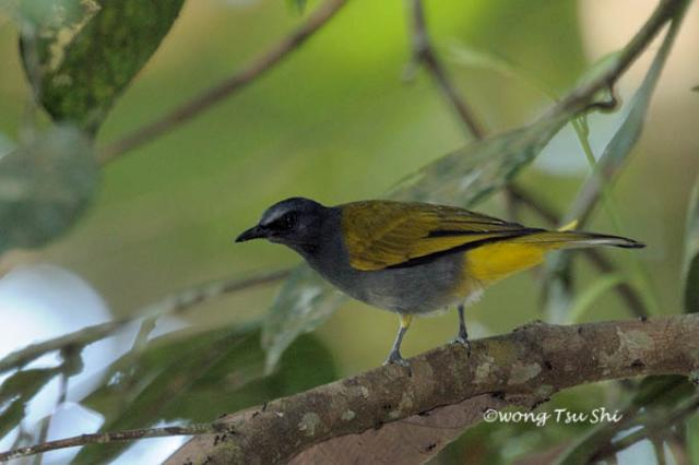 image 923 of Grey-bellied Bulbul