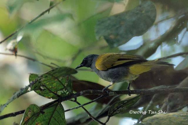 image 922 of Grey-bellied Bulbul