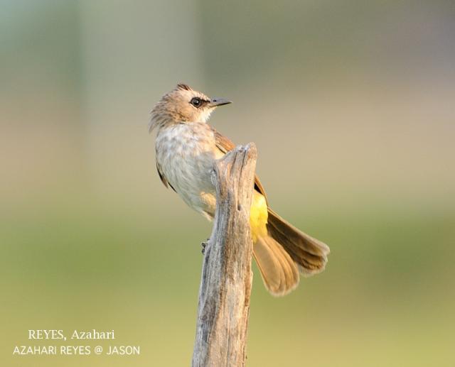 image 3339 of Yellow-vented Bulbul