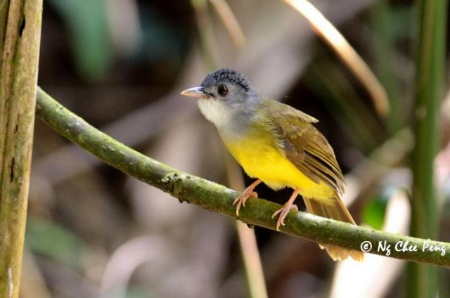 image 6659 of Yellow-bellied Bulbul