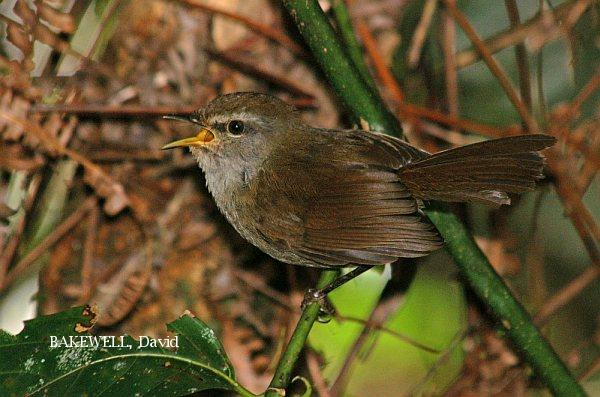 image 3980 of Sunda Bush Warbler