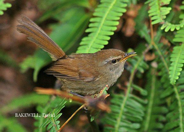 image 3982 of Sunda Bush Warbler