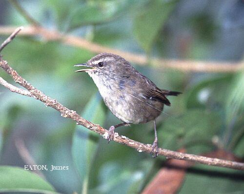 image 2235 of Sunda Bush Warbler