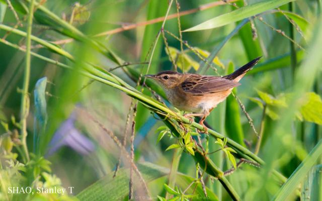image 7239 of Rusty-rumped Warbler