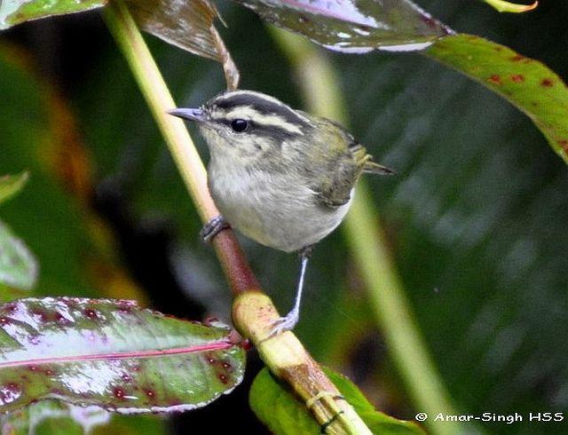 image 4419 of Mountain Leaf Warbler