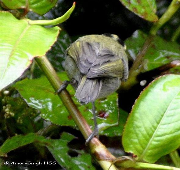 image 4421 of Mountain Leaf Warbler