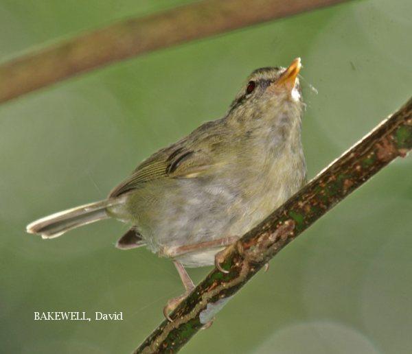 image 3983 of Mountain Leaf Warbler