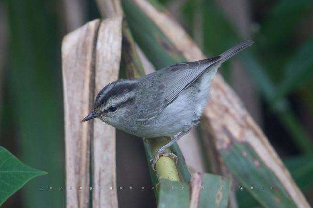 image 7516 of Mountain Leaf Warbler