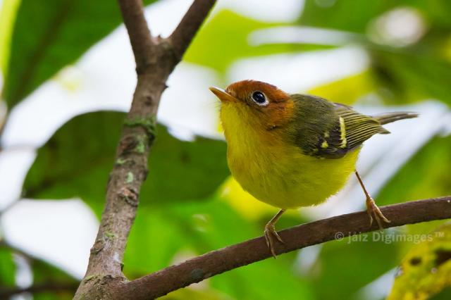 image 7391 of Yellow-breasted Warbler