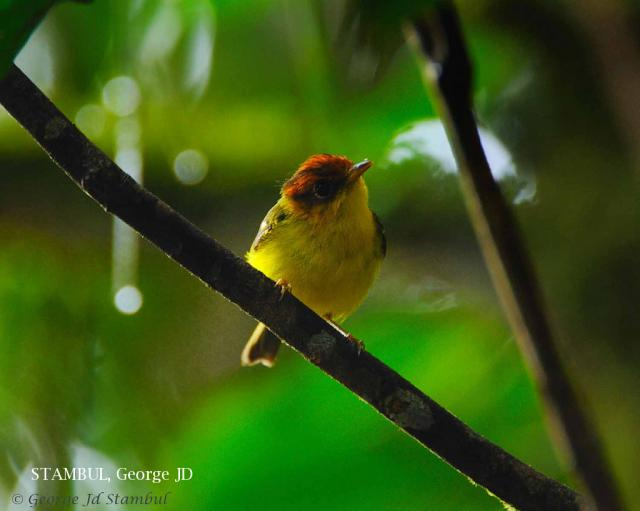 image 6025 of Yellow-breasted Warbler