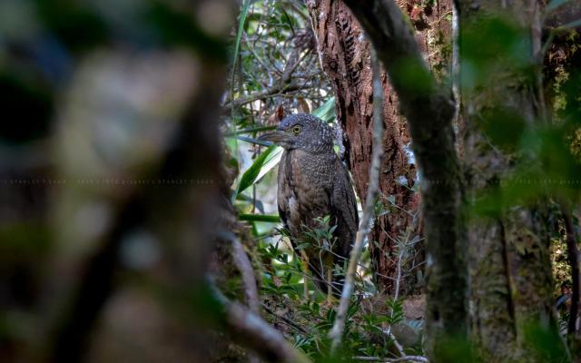 image 7793 of Malaysian Night Heron