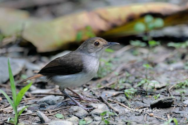 image 3292 of White-chested Babbler
