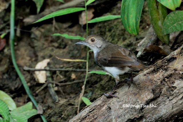 image 3293 of White-chested Babbler