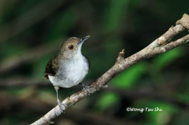 image 3291 of White-chested Babbler