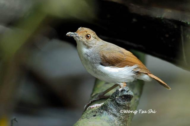 image 3289 of White-chested Babbler