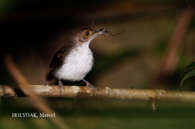 image 1954 of White-chested Babbler