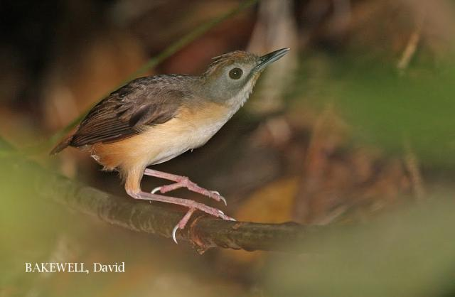 image 4264 of Short-tailed Babbler