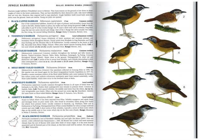image 2929 of Mulu Short-tailed Babbler
