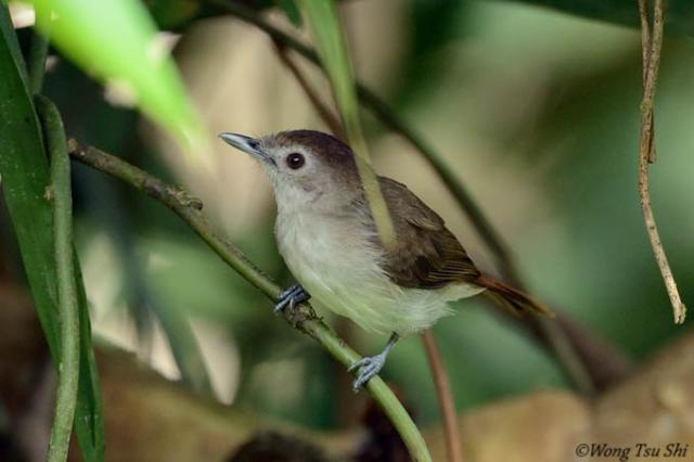 image 6615 of Sooty-capped Babbler