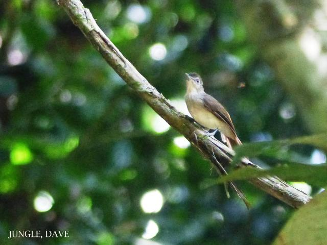 image 7891 of Sooty-capped Babbler