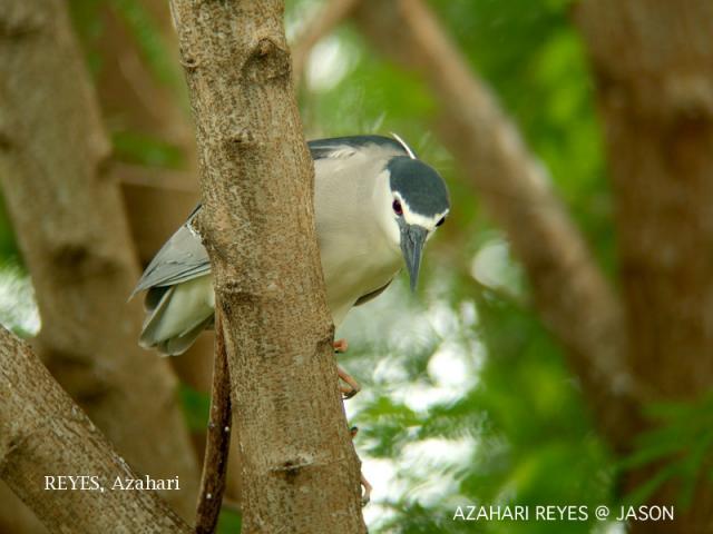 image 3461 of Black-crowned Night Heron