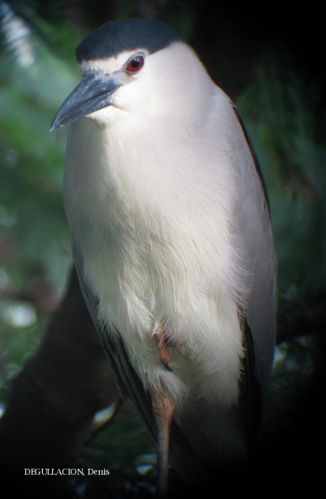 image 5787 of Black-crowned Night Heron