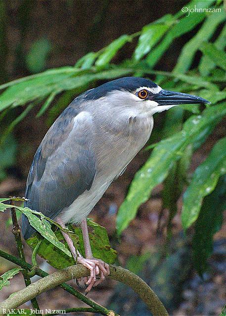 image 5862 of Black-crowned Night Heron