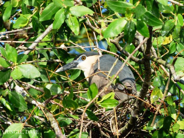 image 7918 of Black-crowned Night Heron
