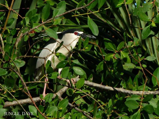 image 7919 of Black-crowned Night Heron
