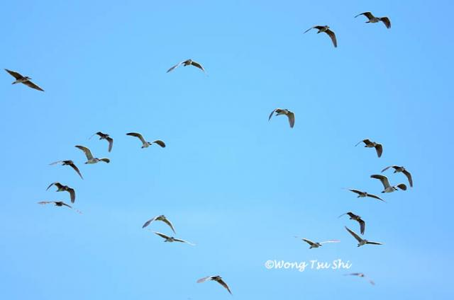 image 808 of Black-crowned Night Heron