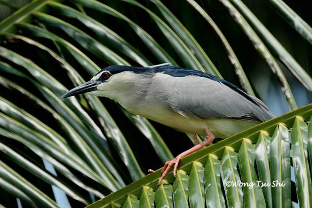image 715 of Black-crowned Night Heron