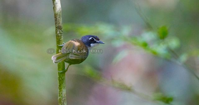 image 7110 of White-throated Babbler