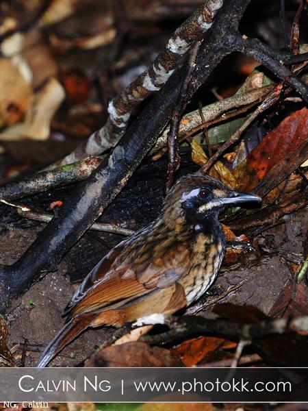 image 5048 of Black-throated Wren-babbler
