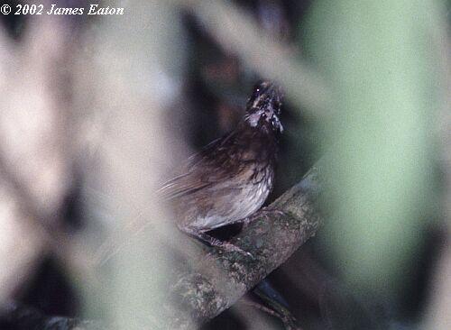 image 3630 of Black-throated Wren-babbler
