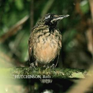 image 2078 of Black-throated Wren-babbler