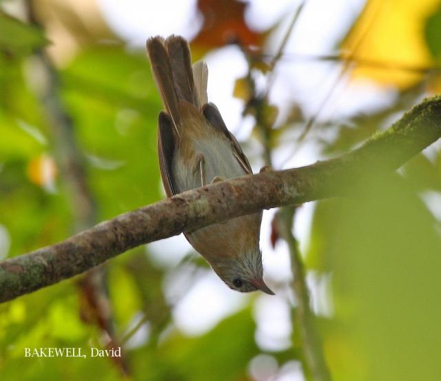 image 4266 of Rufous-fronted Babbler