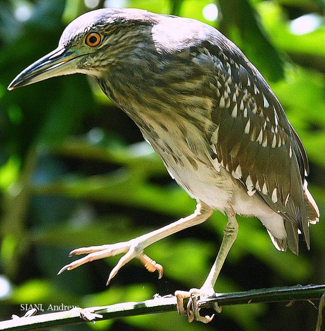 image 2941 of Rufous Night Heron