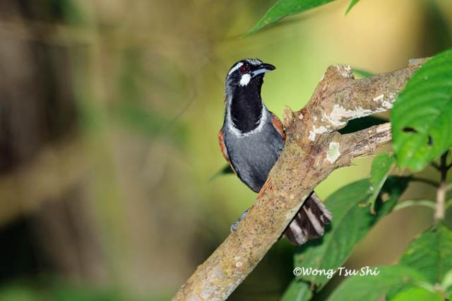 image 784 of Black-throated Babbler