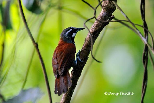 image 783 of Black-throated Babbler