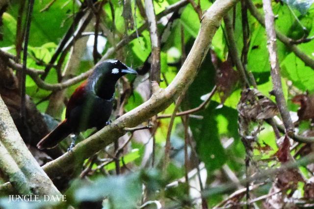 image 7876 of Black-throated Babbler