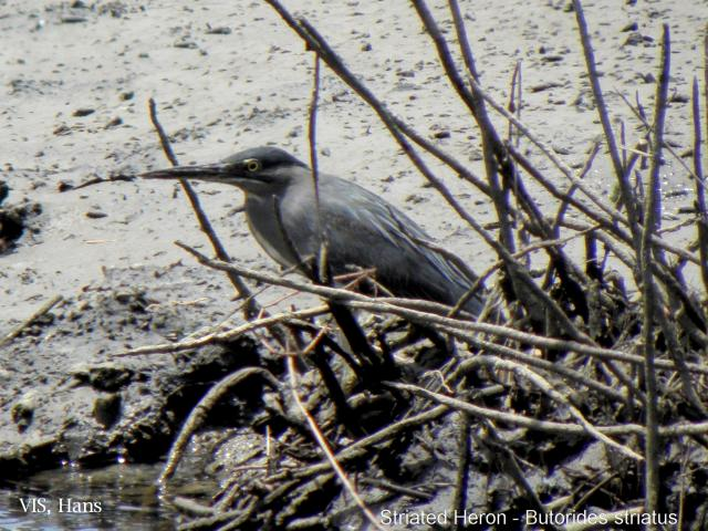 image 5680 of Striated Heron