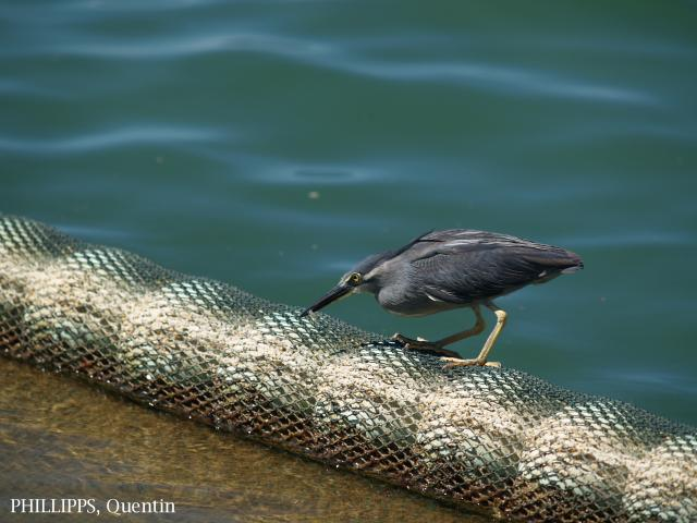 image 1433 of Striated Heron