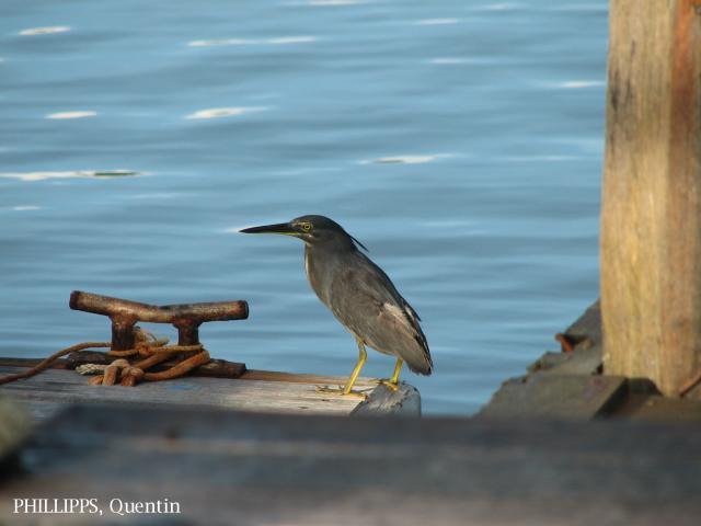 image 1438 of Striated Heron