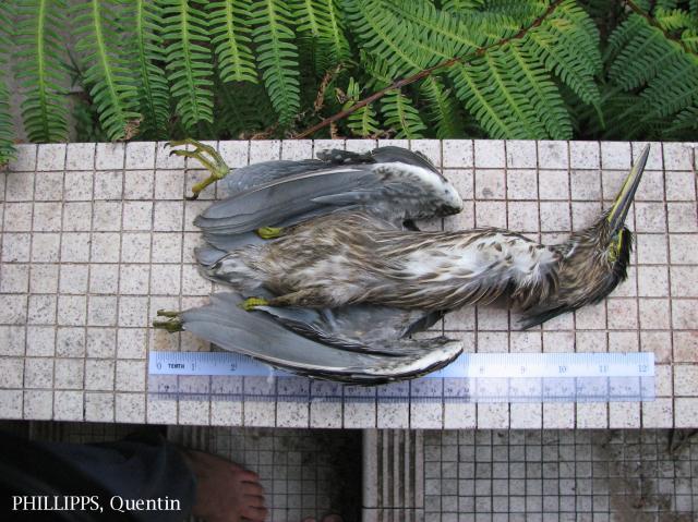 image 1435 of Striated Heron
